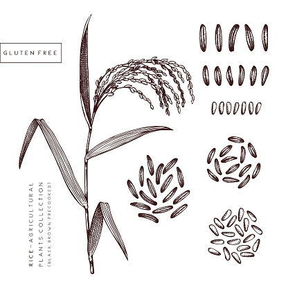 Rice - agricultural plants set