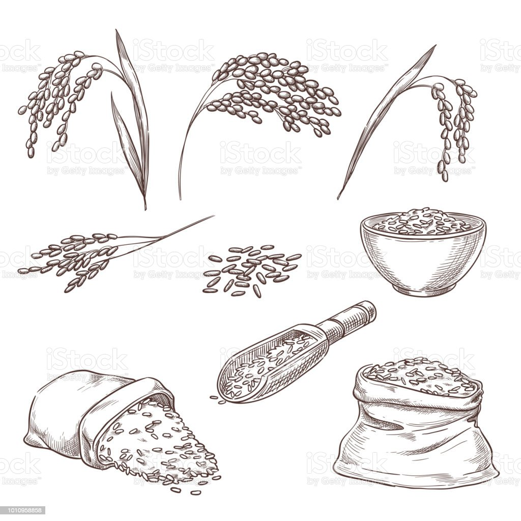 Rice cereal spikelets, grain in sack, porridge in bowl. Vector sketch illustration. Hand drawn isolated design elements vector art illustration