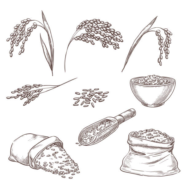 Rice cereal spikelets, grain in sack, porridge in bowl. Vector sketch illustration. Hand drawn isolated design elements Rice cereal spikelets, grain in sack and porridge in bowl. Vector sketch illustration. Hand drawn isolated design elements. cereal plant stock illustrations