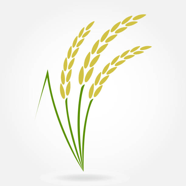 ilustrações de stock, clip art, desenhos animados e ícones de rice. crop symbol. rice or wheat ears design element. agriculture grain. colorful vector illustration. - arroz alimento básico