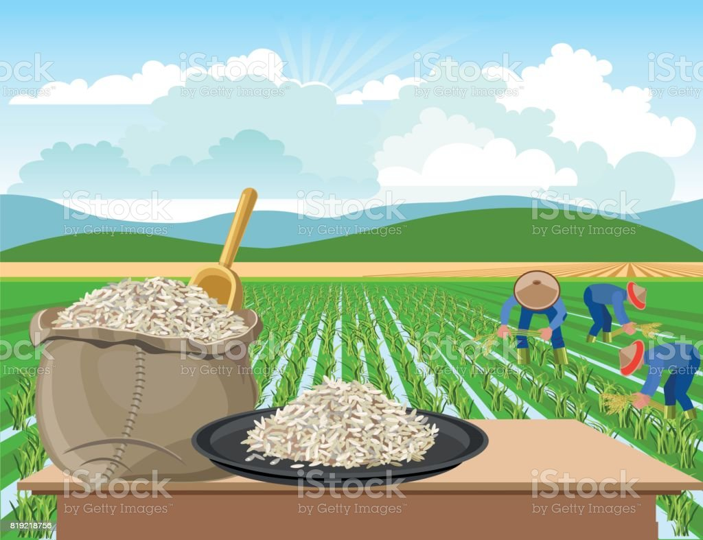 Rice on a rice field background vector art illustration