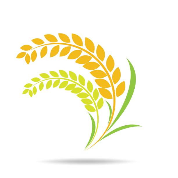 Best Rice Grain Illustrations, Royalty-Free Vector ...