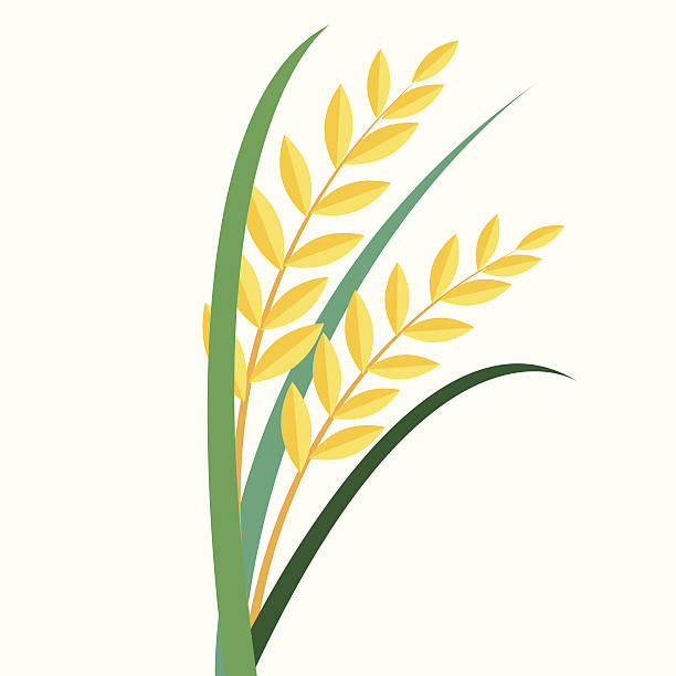 Best Rice Paddy Illustrations, Royalty-Free Vector ...