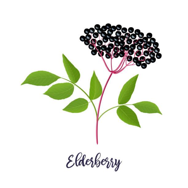 reife schwarze holundermitelbe mit zweig, beeren, blätter. sambucus. schwarze holunderpflanze, europäische holunder, europäische holunder. vektor - holunderstrauch stock-grafiken, -clipart, -cartoons und -symbole