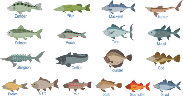 River Fish Identification Slate With Names River Fish Identification Slate With Names. Realistic Infographic Illustration In Simple Style On White Background. freshwater fish stock illustrations