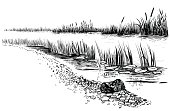 River landscape with reed and cattail.