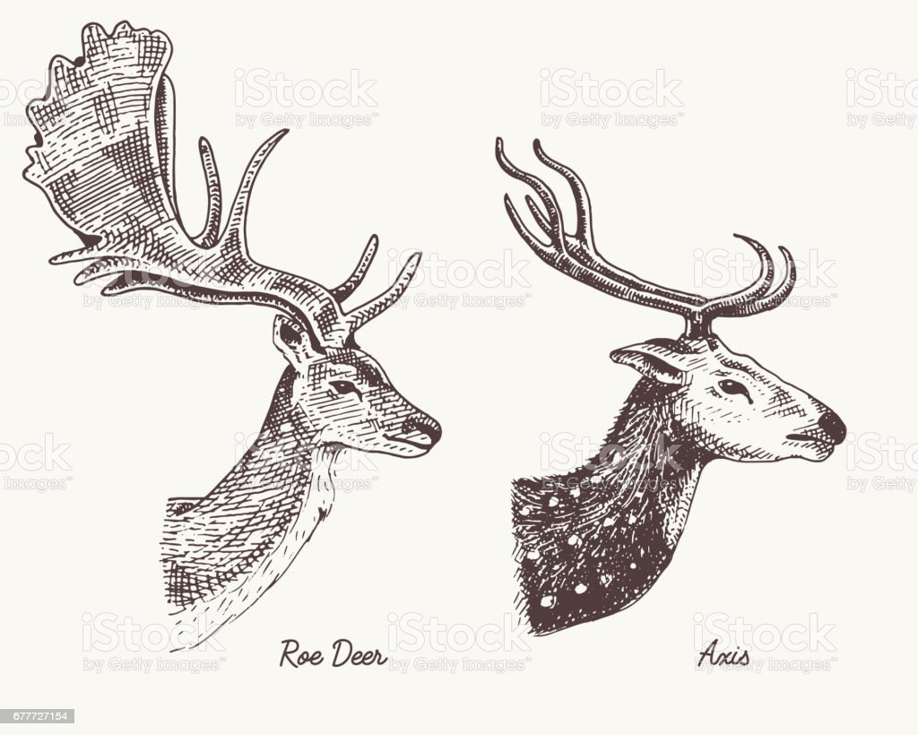 roe deer or doe axis or indian dotted vector hand drawn illustration engraved wild