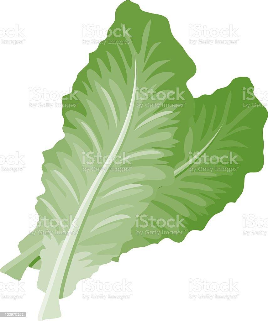 Romaine Lettuce vector art illustration
