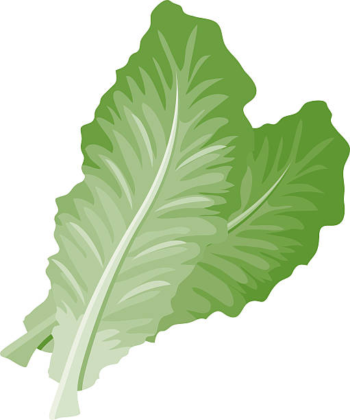 romaine lettuce - lettuce stock illustrations