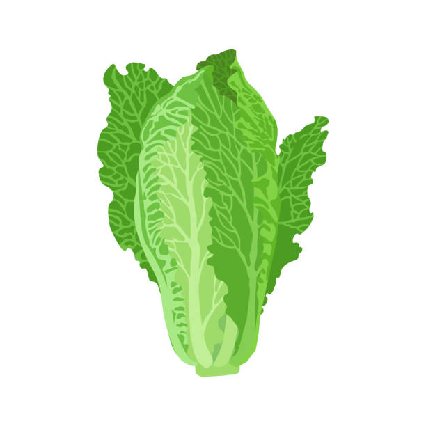 romaine lettuce vector illustration. beautiful image isolated on a white background. - lettuce stock illustrations