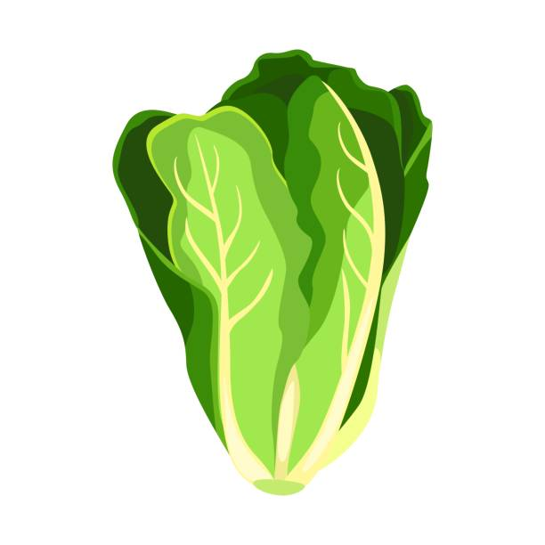 romaine salad lettuce plant. nature organic fresh green vegetable leaves. - lettuce stock illustrations