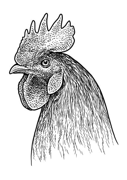 Top 60 Chicken Line Drawing Clip Art, Vector Graphics and