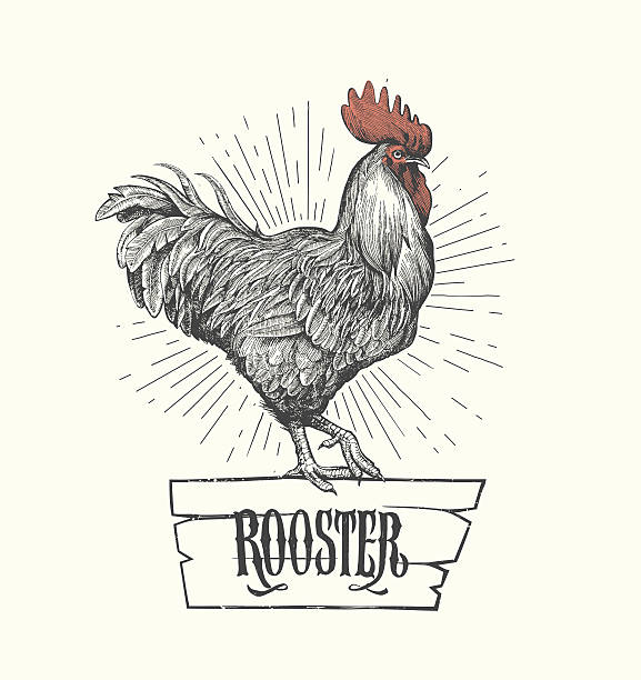 Rooster in graphic style, hand drawn illustration. Vector Rooster in graphic style, hand drawn illustration. rooster stock illustrations