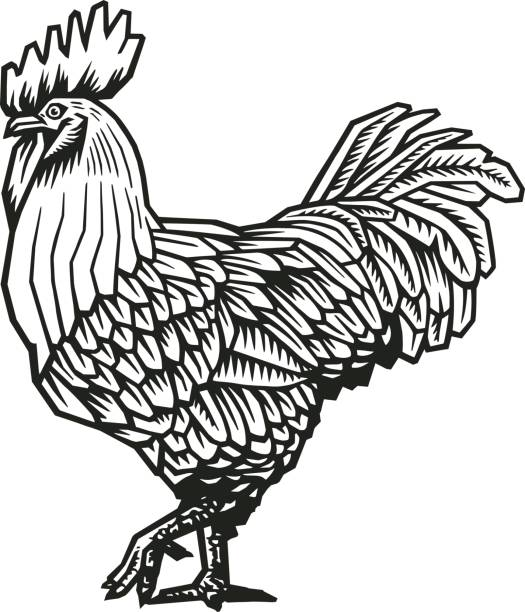 Rooster or cock hand drawn in medieval engraving style. Gorgeous farm bird isolated on white background. Vector illustration in monochrome colors for banner, print, restaurant logo, advertisement. Rooster or cock hand drawn in medieval engraving style. Gorgeous farm bird isolated on white background. Vector illustration in monochrome colors for banner, print, restaurant logo, advertisement rooster stock illustrations