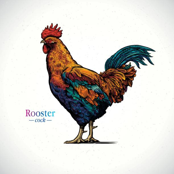 Rooster Illustration of a rooster in a graphical style and painted in color, hand drawn Illustration. rooster stock illustrations