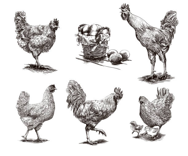 roosters, hens and chickens compilation of hand drawn sketches of roosters and hens poultry stock illustrations
