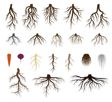 Root system set vector illustrations, taproot and fibrous branched roots of plant, tree, isolated icons on white