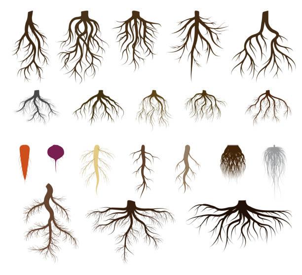 stockillustraties, clipart, cartoons en iconen met het wortelsysteem reeks vectorillustraties, taproot en vezelige vertakte wortels van installatie, boom, geïsoleerde pictogrammen op wit - wortel plantdeel