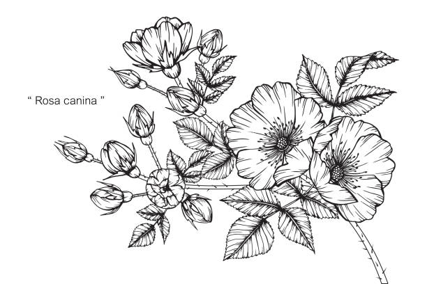 Rosa canina flower drawing. Hand drawing and sketch Rosa canina flower. Black and white with line art illustration. wild rose stock illustrations