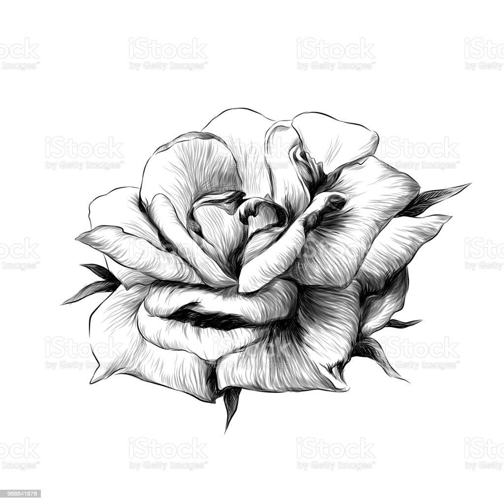 Ilustración de Capullo De Flor Rosa Sobre Fondo Blanco y más banco ...