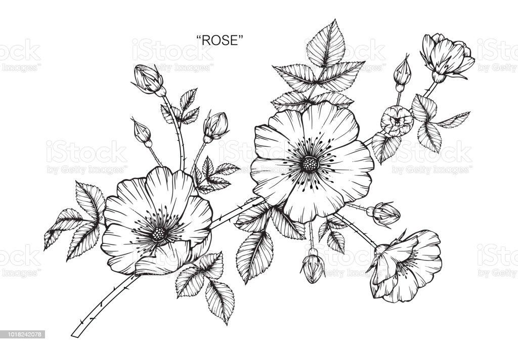 Vetores De Rosa Flor Desenho Ilustração Preto E Branco Com