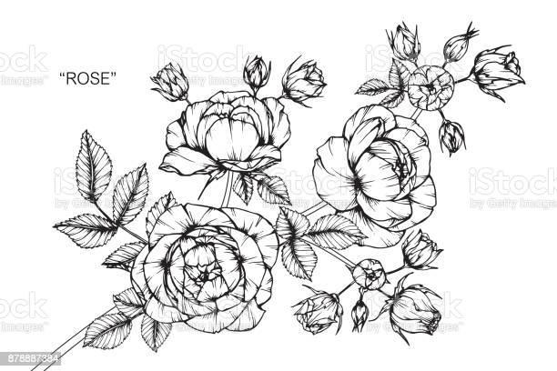 Rose flower drawing vector id878887384?b=1&k=6&m=878887384&s=612x612&h=61pw03gawhgsqdexa fzo vg8 ixey3gw m5uswo2kk=
