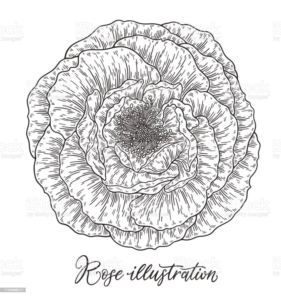 Rose flower hand drawn in lines. Black and white monochrome graphic...