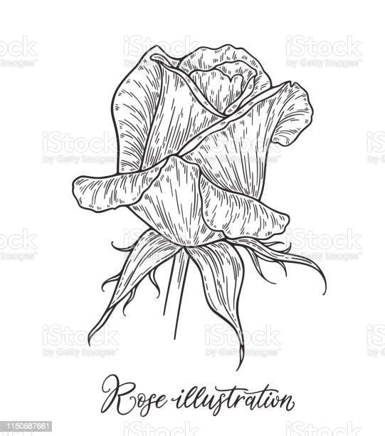 Rose flower hand drawn in lines black and white monochrome graphic vector id1150687661?b=1&k=6&m=1150687661&s=612x612&h=kqohpzltzbu97wjs7jc7olljiospdai7e7mnusctfaq=