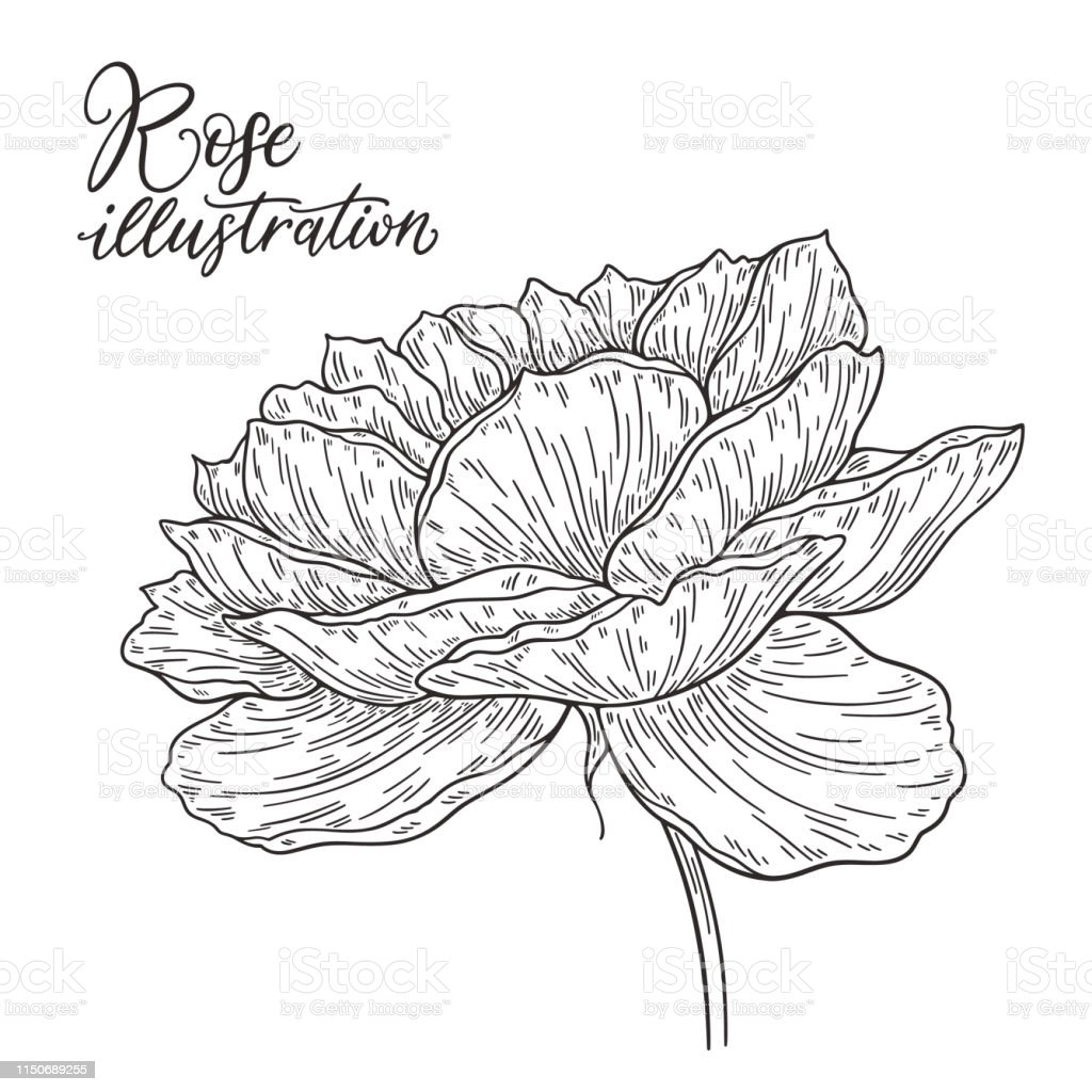 Rosenblüte In Linien Gezeichnet Schwarzweiß Monochrome Grafische