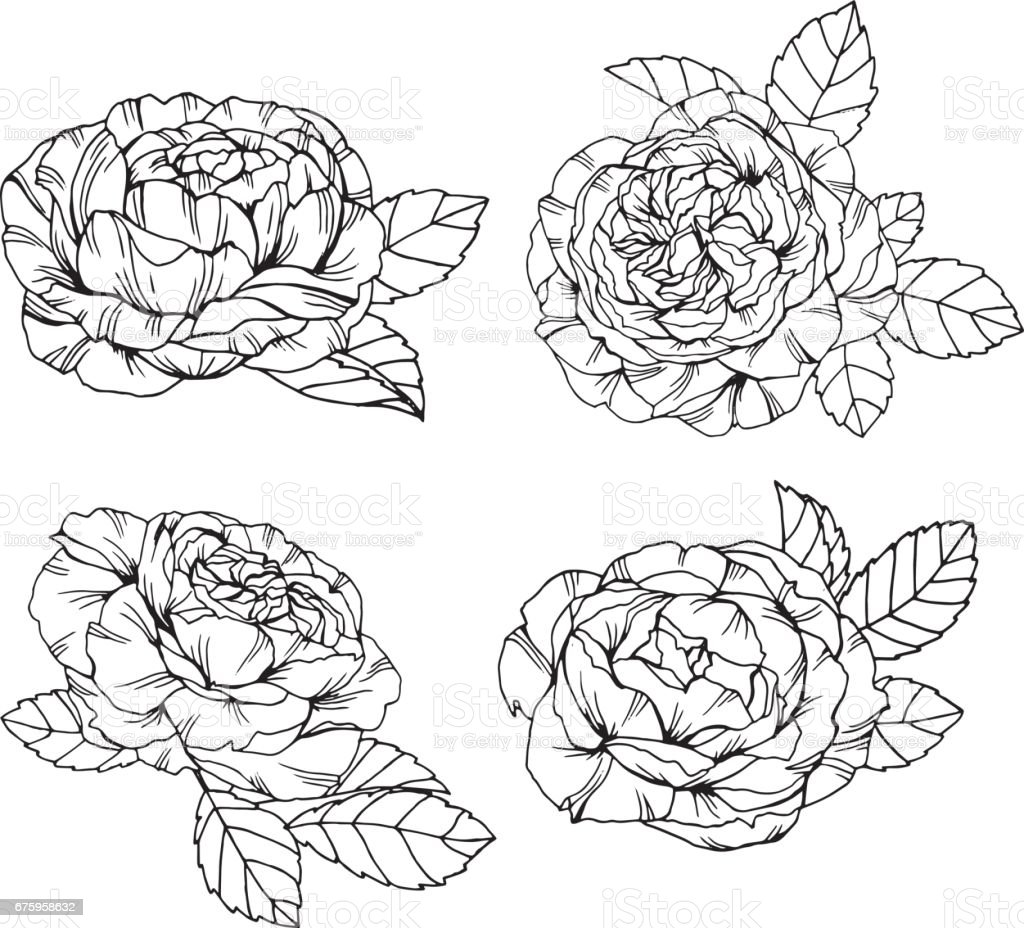 Line Art Rose Flower : Rose flowers drawing and sketch with lineart on white