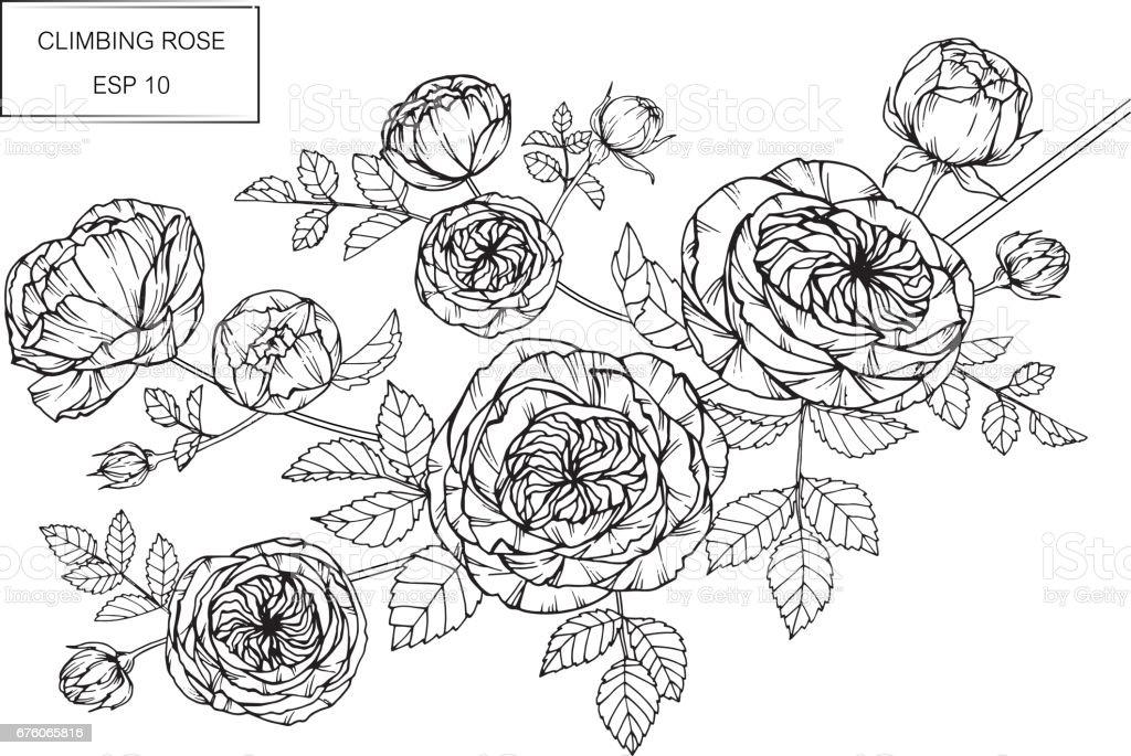 Rose Fleurs Dessin Et Croquis Avec Trait Sur Fond Blanc Cliparts