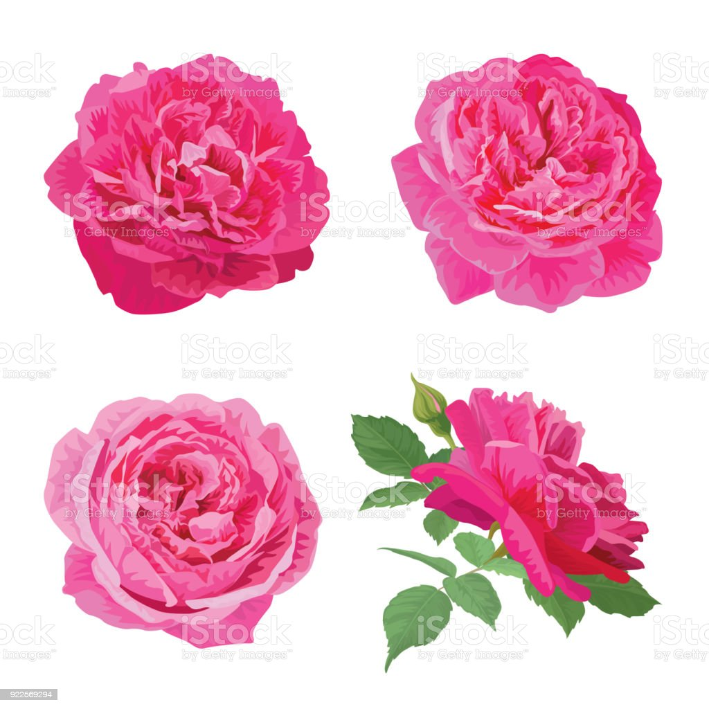 Rose Flowers In Pink Color And Leaf On White Background Stock Vector