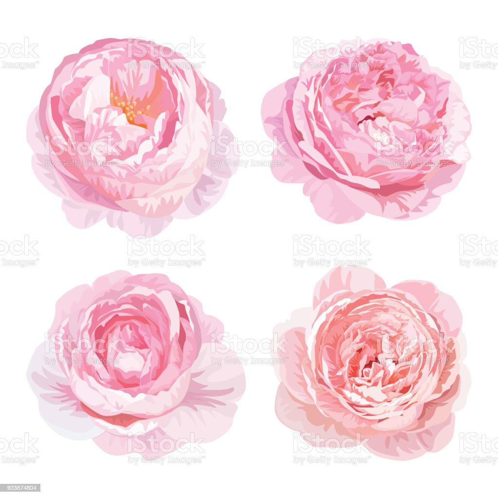 Rose Flowers In Pink Color On White Background Stock Vector Art
