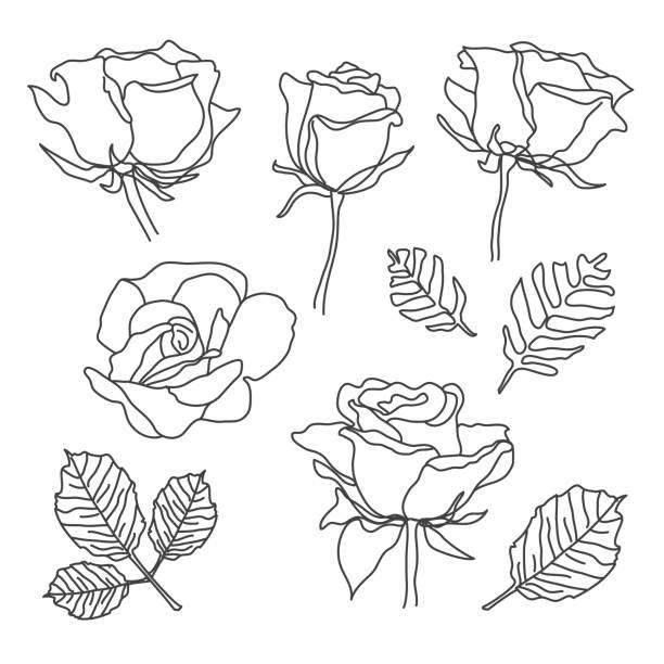 Rose flowers set in sketch line art style. Hand drawn black detailed outline roses, leaves on white background. Vector illustration for greeting cards, wedding invitations, stamp, stencil, art print, decorative pattern design. flowers tattoos stock illustrations