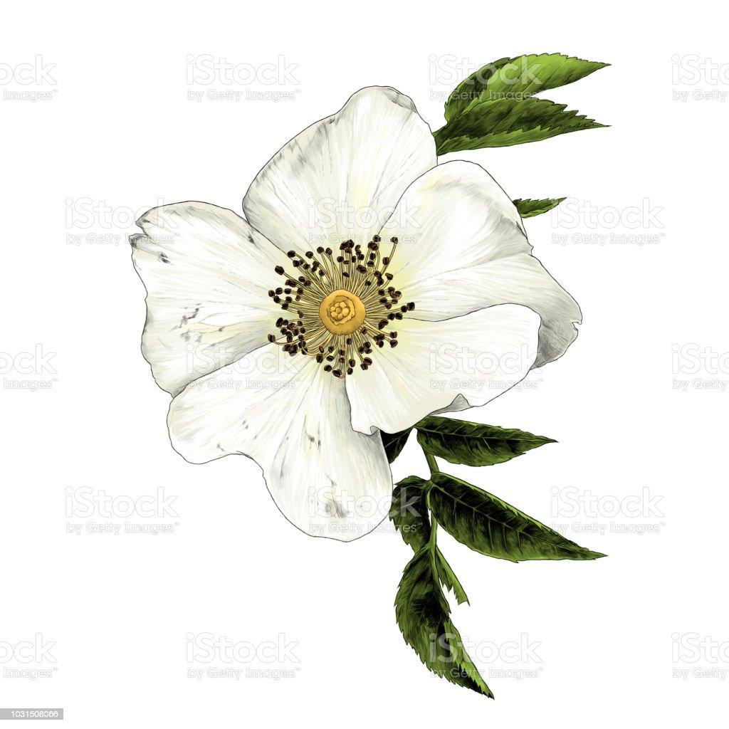 Fleur De Rose Musquee Avec Feuilles Cliparts Vectoriels Et Plus D