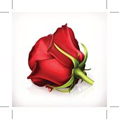 Rose in red, vector illustration