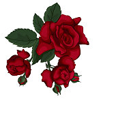 Rose isolated on white beautiful. Red rose.