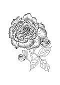 Rose on stem (flower and buds). Black and white vector illustration.