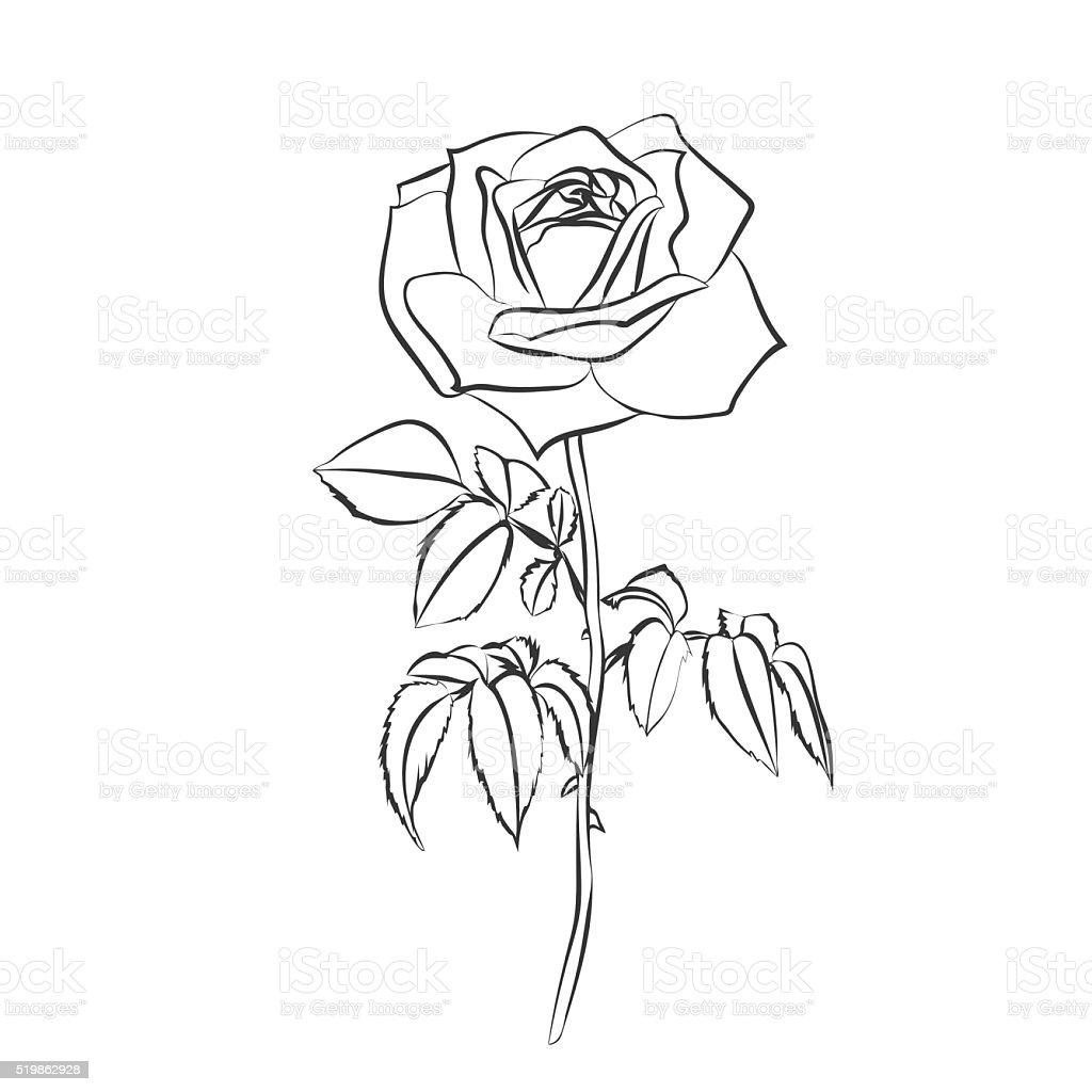 Róża Szkic Na Białym Tle Stockowe Grafiki Wektorowe I