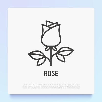 Rose thin line icon, romantic gift on Valentine day. Modern vector illustration.