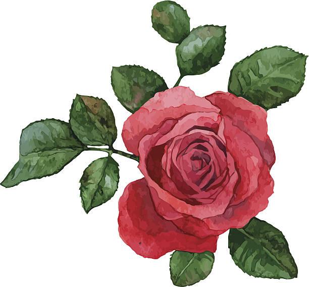 illustrazioni stock, clip art, cartoni animati e icone di tendenza di rose - mika
