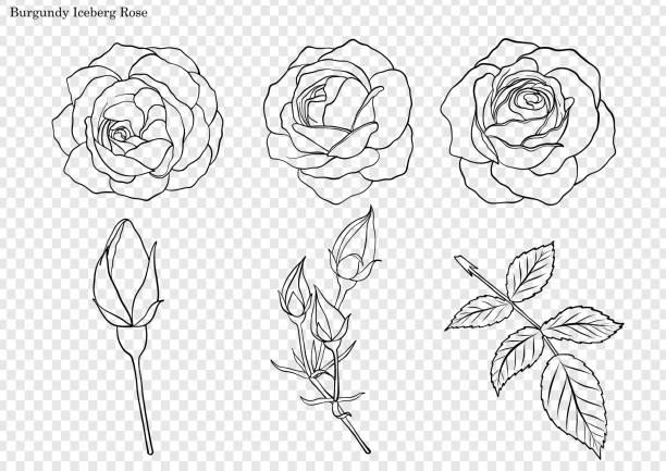 bildbanksillustrationer, clip art samt tecknat material och ikoner med rosen vektor av hand ritning. - white roses
