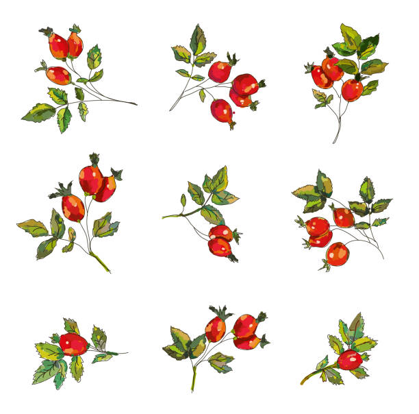 Rosehip set  with berries and leaves illustration Rosehip set  with berries and leaves.Handrawn sketchy design, vector graphic illustration dog rose stock illustrations