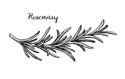 Rosemary branch sketch.