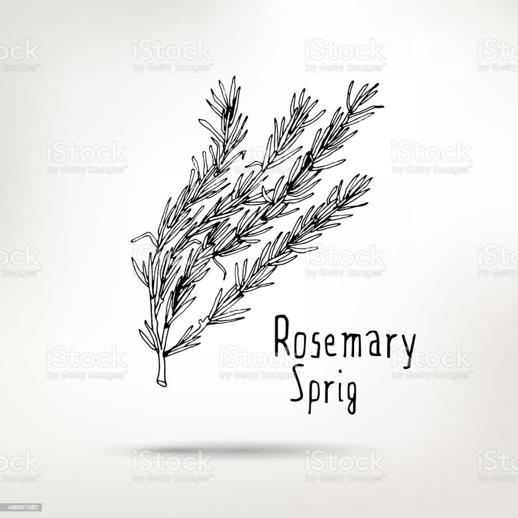 Rosemary ink drawn sprig vector art illustration