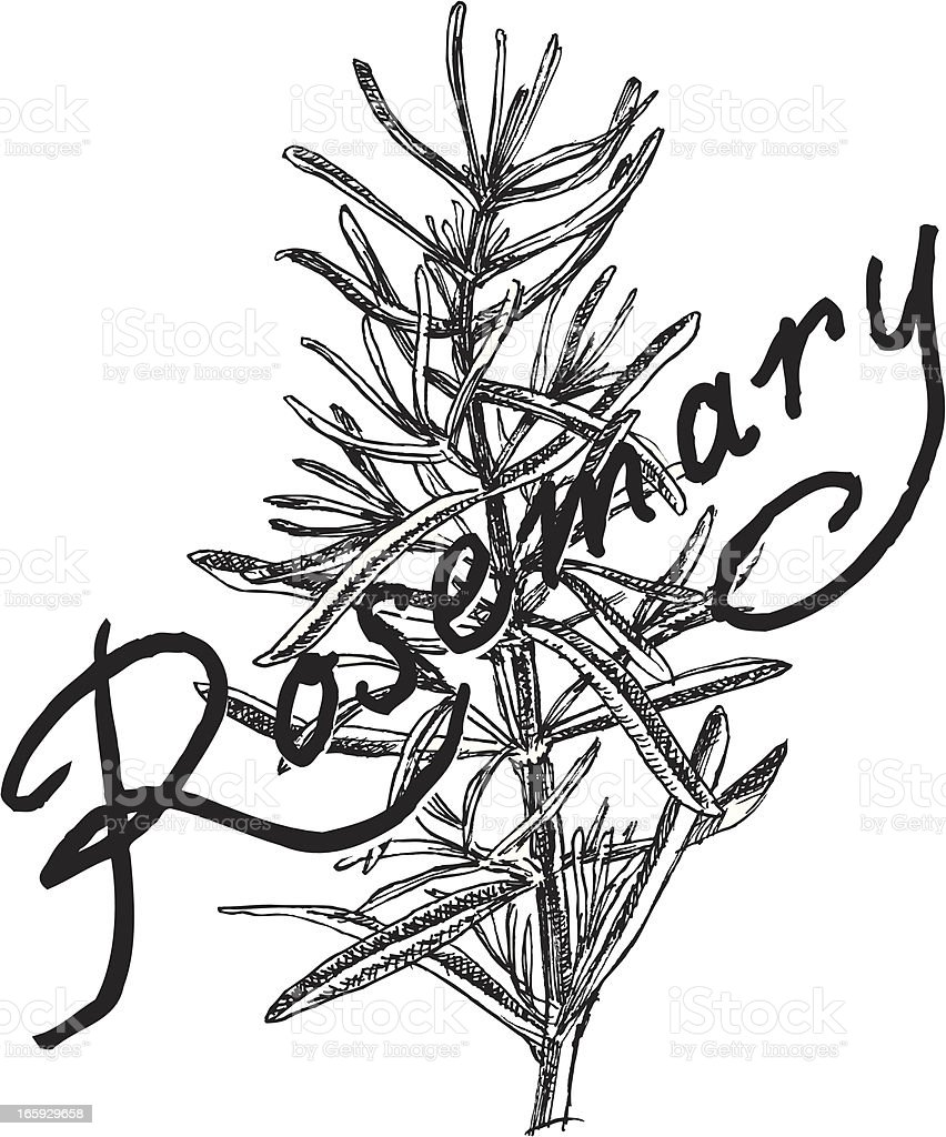 Rosemary Plant - Herb royalty-free rosemary plant herb stock vector art & more images of food