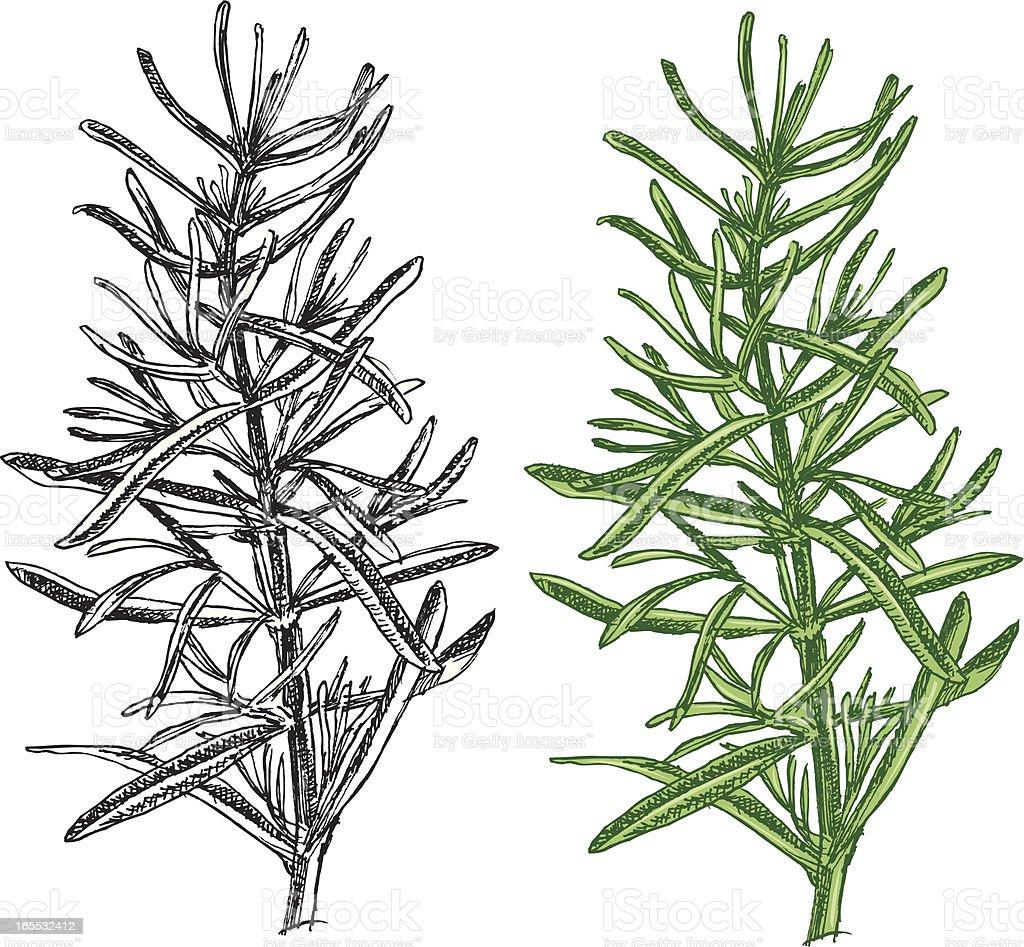 Rosemary - spice vector art illustration