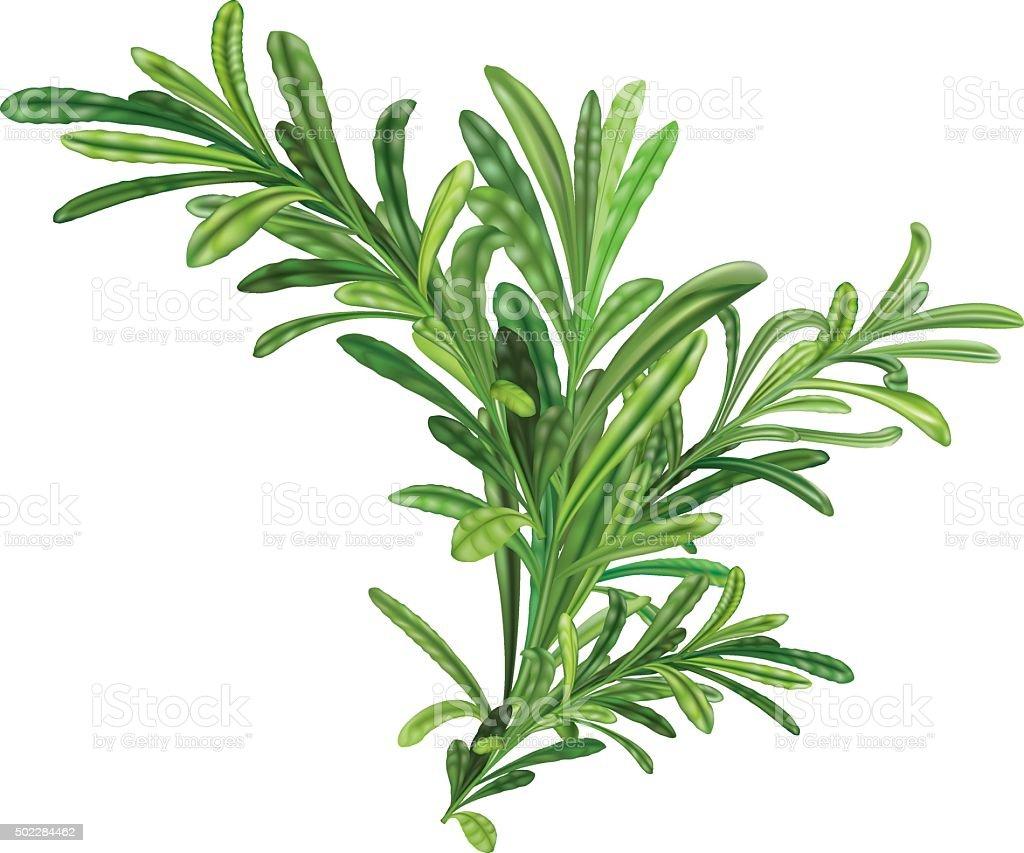 Rosemary twigs vector art illustration