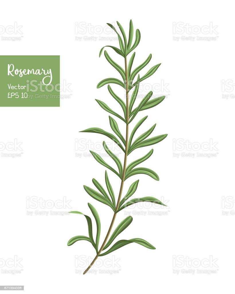 Rosemary ilustração vetorial. - ilustração de arte em vetor