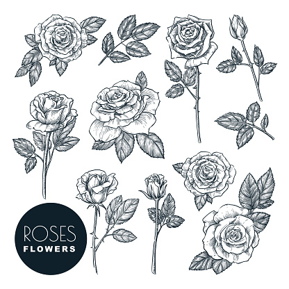 Roses flowers set, vector sketch illustration. Rose blossom, leaves and buds isolated on white background.